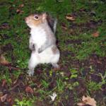 un écureuil à Dublin