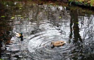 photo de Canards à Dublin