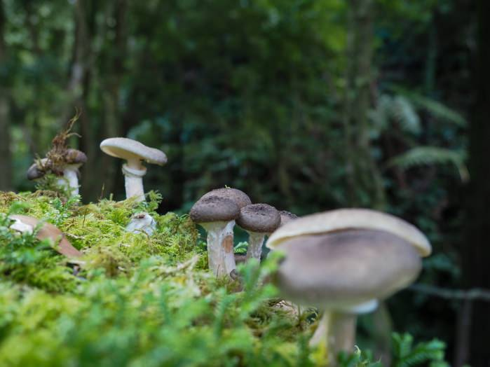photo de champignons gris parc naturel de São Miguel, Açores