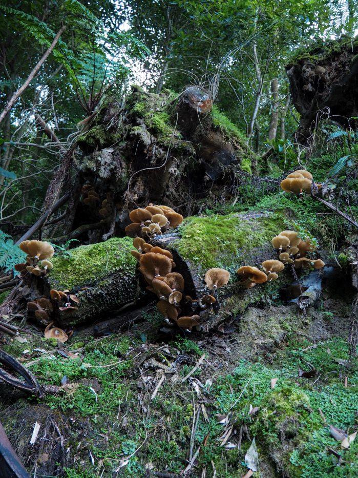 Des champignons sur une souche dans le parc naturel de São Miguel, aux Açores