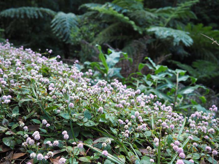 Un tapis de fleurs dans le parc naturel de São Miguel, aux Açores