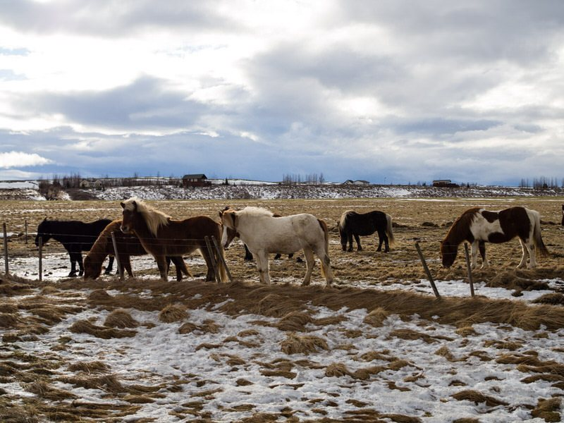 Des chevaux islandais